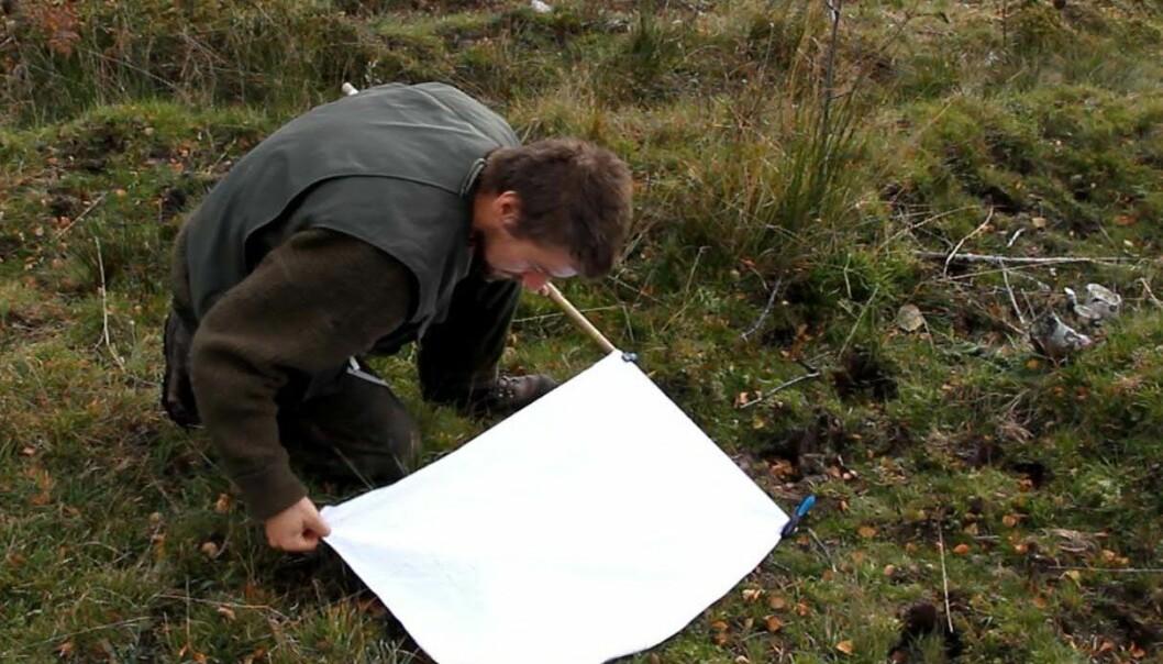 Forskeren registrerer omfanget av flått ved å dra et håndkle langs bakken som flåtten fester seg på. (Foto: Bioforsk)