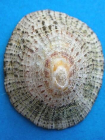 Albuskjell kalles også albusnegle, og er omtrent fire ganger seks centimeter stort. Foto: M. Violante, Creative Commons
