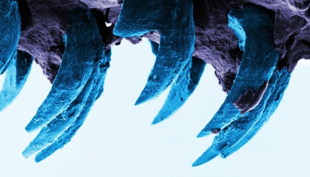 Fibrene i disse tennene er flere tusen ganger tynnere enn menneskeskapte nanofibre i for eksempel kevlar. (Foto: Asa Barber, University of Portsmouth)