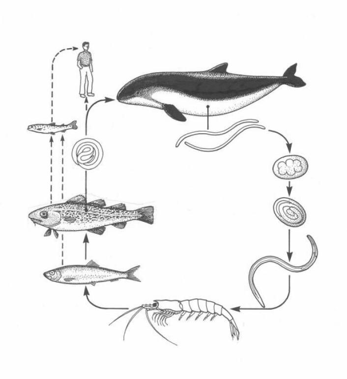Illustrasjonen viser rundmarkens livssyklus. Den legger egg i hvalmager, og de skilles ut gjennom ut hvalens avføring. Eggene klekkes ut og markene blir spist av krill, som igjen blir spist av fisk. Parasitten borer seg gjennom magen og setter seg i kjøttet. Hvis fisken ikke har vært frosset, kan mennesker bli infisert, noe som kan forårsake store magesmerter og diaré.  (Foto: (Illustrasjon fra boken: Fish Diseases – An Introduction. Buchmann, K., 2009))