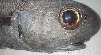 Gammel fisk er ikke som gammel vin