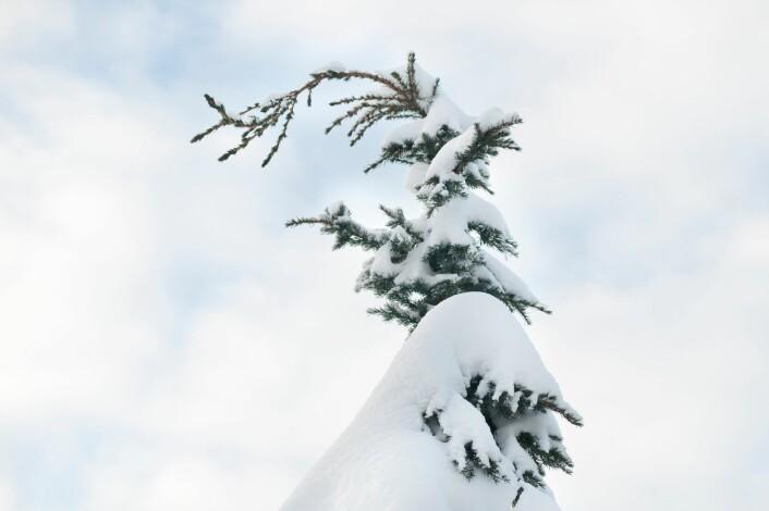 Mer våt snø betyr mer snølast på kraftledninger, mobilmaster og mer toppskader på trær. Høyere vintertemperaturer betyr også mindre stabil tele, mer ustabile grunnforhold og mer vindfall. (Foto: Lars Sandved Dalen, Skog og landskap)