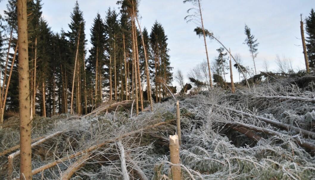 Etter orkanen Dagmar vinteren 2011–2012 var det mye skog, også på Østlandet, som ble felt av storm. (Foto: Anders Møyner Eid Hohle, Skog og landskap)