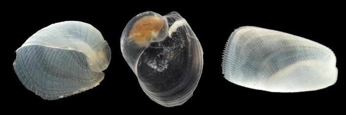 """Tre ulike arter Cephalaspidea, fra venstre: <em>Philine quadrata, Philine confusa nom. nov.</em> og <em>Philine nov. sp.</em> (Foto: Lena Ohnheise, <a href=""""http://creativecommons.org/licenses/by-sa/4.0/deed.no"""">Creative Commons</a>)"""