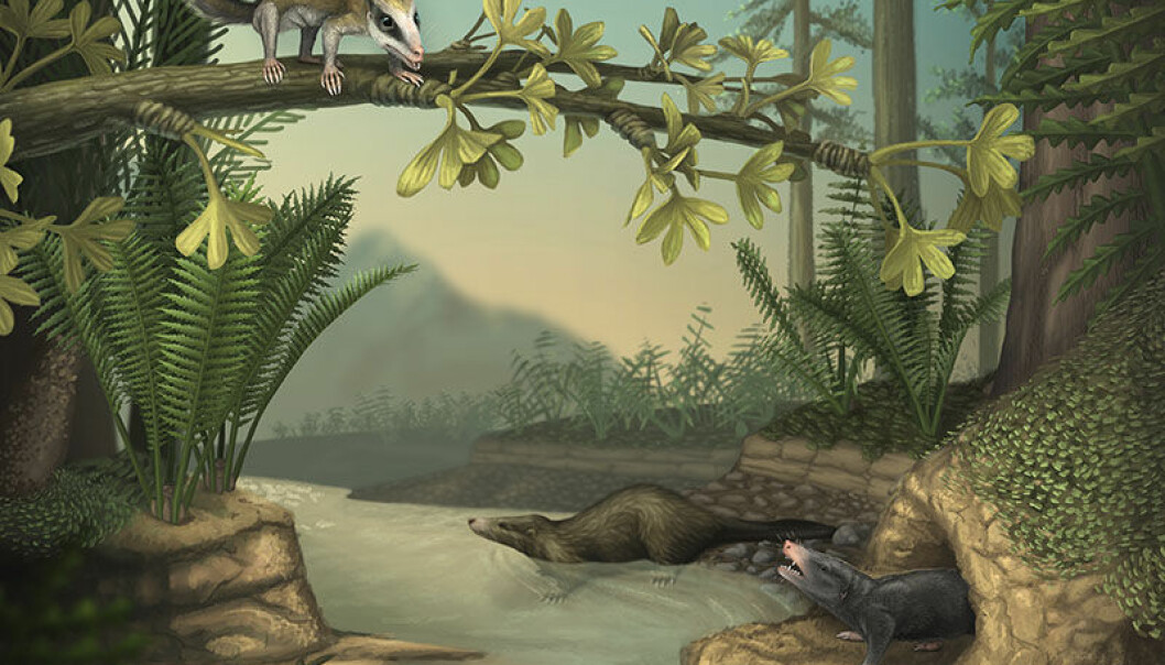 De to fossilene, slik en illustratør har sett dem for seg. Agilodocodon scansorius kan sees oppe i treet til høyre, og Docofossor brachydactylus sees i en hule nede til venstre.  (Illustrasjon: April Neander, University of Chicago)