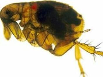 Pesten smittet via lopper. I utgangspunktet levde de på gnagere, gjerne rotter, men når disse døde gikk loppene over på mennesker. (Foto: National Institute of Allergies and Infectious Diseases, USA/Wikimedia Commons)
