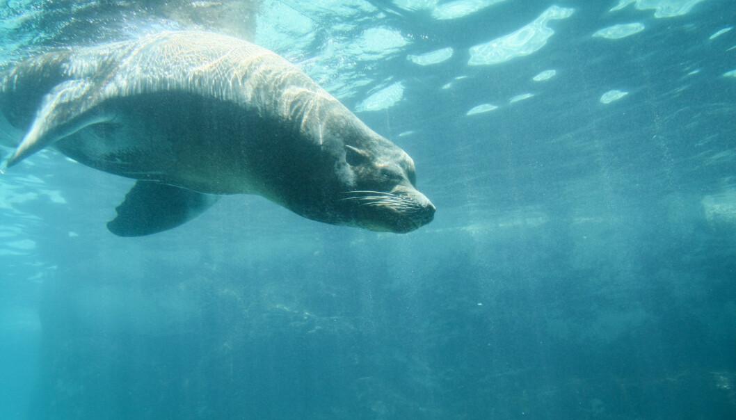Selene dykker ned til flere hundre meters dyp for å finne mat. (Foto: Colourbox)