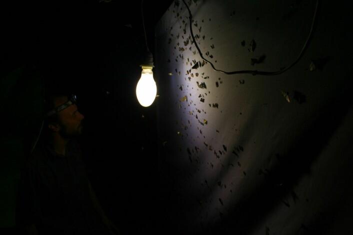 Enorme mengder av ulike insektarter tiltrekkes av lys. Dette gjelder særlig sommerfugler, men også fluer, biller og veps. Bildet er fra Papua New Guinea.  (Foto: Frode Ødegaard, NINA)