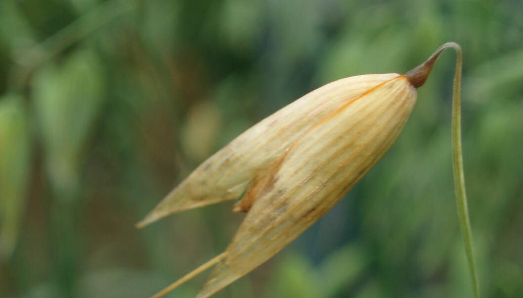 Fusariumsopp kan angripe korn og produsere forskjellige soppgifter (mykotoksiner) som kan være giftige for mennesker og dyr. Forskere har nå fulgt soppgifter hele veien fra åkeren til laboratoriet for å kartlegge risiko og finne forebyggende metoder. (Foto: Janet Lewis, Cimmyt)