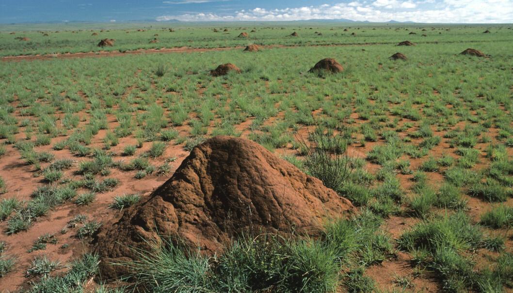Rundt termitt-tuene klarer plantene seg bedre. Her fra Horombe-sletta på Madagaskar. (Foto: Science Photo Library/NTB scanpix)