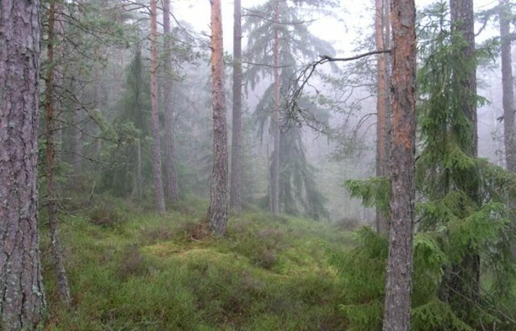 Økt tilvekst og areal gjør at skogen i Norge binder stadig mer CO2. (Foto: Ragnar Våga Pedersen)