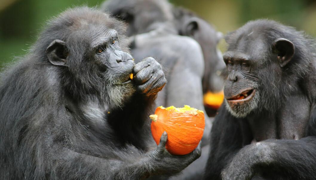 Sjimpanser overrasker stadig forskere. Nå skal de ha klart å endre lydene de lager når de ber om visse ting, for å tilpasse seg et nytt miljø. (Foto: NTB scanpix)