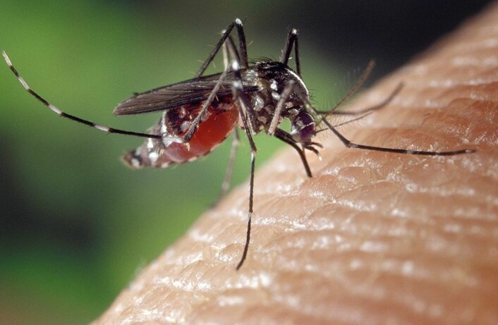 En Aedes Aegypti-mygg biter et menneske. (Foto: CDC/Offentlig eiendom)