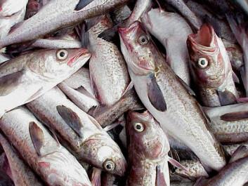Alaska pollock dukker ofte opp der det trengs billig hvitfisk – for eksempel i fiskegrateng og fiskepinner i norske frysedisker. Nå har stillehavsarten også svømt over til norskekysten. (Foto: NOAA FishWatch)