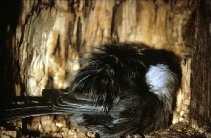 En granmeis i dyp søvn inne i et hulrom. Ute er det rundt 20 kuldegrader. Kroppsfjærene er brust opp slik at det dannes et isolerende luftlag i fjærene. I tillegg har den stukket nebbet inn under ryggfjærene slik at pusten som dras inn er litt oppvarmet av lufta som pustes ut. (Foto: Gunnar O. Nilsen)