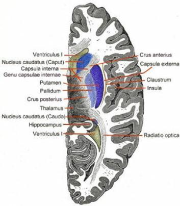 Tverrsnitt av nucleus caudatus i hjernen.  (Foto: Wiki commons)