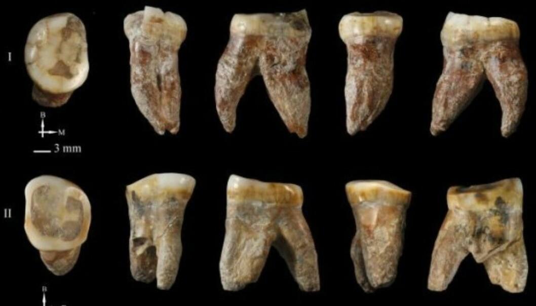 Desse tennene tilhøyrer verken moderne menneske, neandertalarar eller andre kjende mennesketypar. (Foto: María Martínon-Torres)