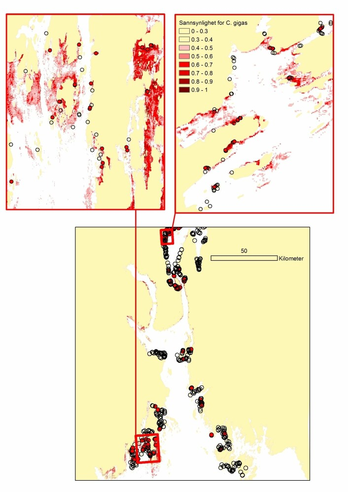 Modellert sannsynlighet for forekomst av stillehavsøsters basert på analyser av observert forekomst (røde punkter) og observert fravær (åpne sirkler) av arten i årene 2009-2012 i Oslofjorden.