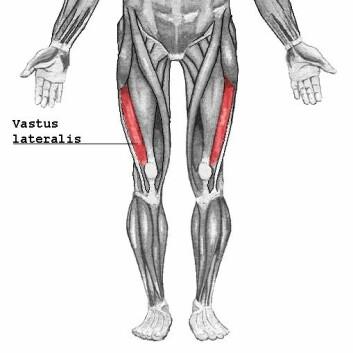 Lårmuskelen musculus vastus lateralis. (Foto: Wikimedia)