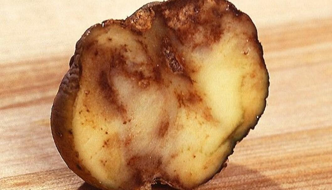 Genmodifiserte poteter kan gjøre potetbonden bærekraftig