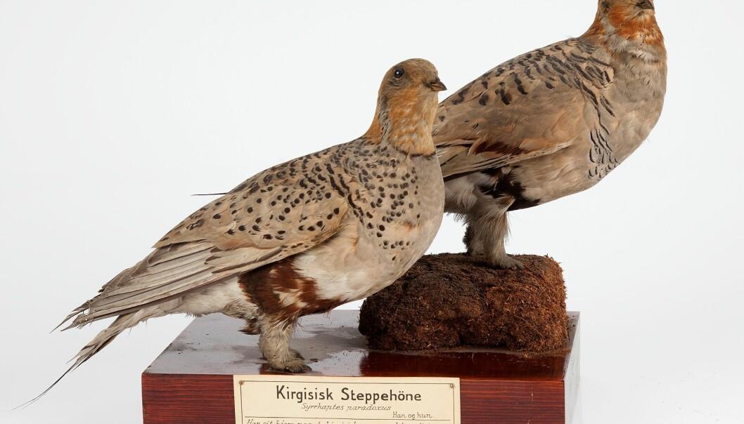 Frå samlingane til Naturhistorisk museum i Oslo: To individ av kirgisisk steppehøne, den eine skoten ved Skien, den andre på Jæren. Begge frå 1888. (Foto: Karsten Sund, NHM)