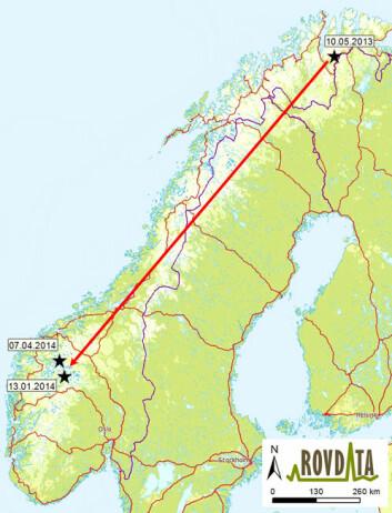 """Kartet viser punktene hvor det er funnet prøver etter hannjerven """"Ind2869"""". Fra Tana til Luster og Skjåk er det cirka 125 mil i luftlinje. (Foto: (Illustrasjon: Rovdata))"""
