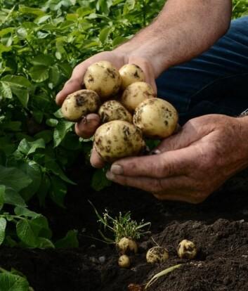 Dei minst modne potetane taper mest vekt. (Foto: Anette Tjomsland)