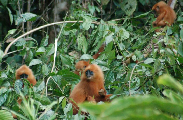 Kastanjebrune langurer i jungelen på Borneo. (Foto: Erik Tunstad)