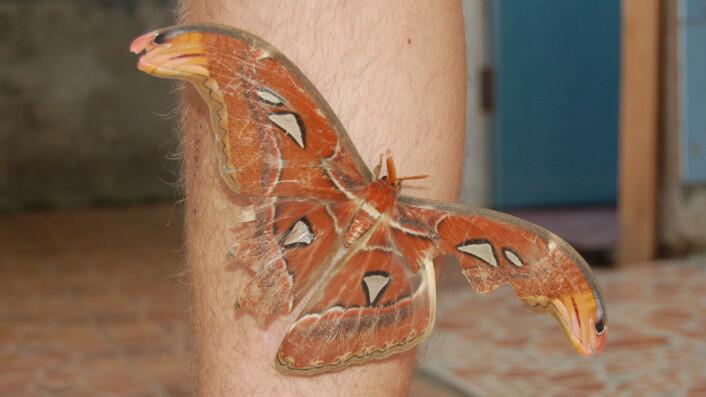 Verdens største sommerfugl, atlasspinneren. (Foto: Erik Tunstad)