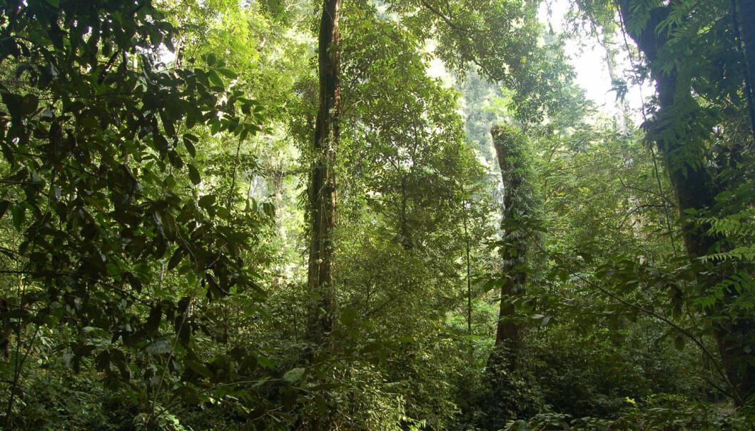Regnskogene på Borneo er blant verdens mest artsrike økosystemer. Det er ikke fordi det er så varmt der. (Foto: Erik Tunstad)