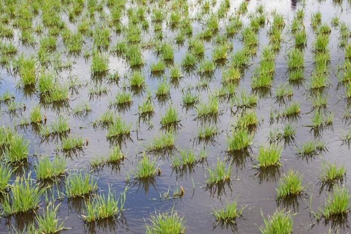 Global oppvarming gir mer nedbør. Derfor må det utvikles kornsorter som kan tåle endrede dyrkingsforhold.  (Foto: Håkon Sparre, NMBU)