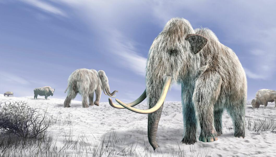 Mammutene ble utryddet da en komet forandret værforholdene, mener noen forskere. Men kanskje var det snarere jegere som sto bak.  (Illustrasjon: Microstock)