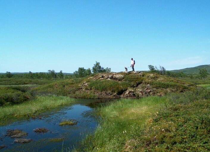 En pals i Ferdesmyras vestre del fra 2004. Da den ble besøkt igjen i 2013 hadde den minket fra 3,25 meter til 1,95 meter i høyde og minket med 4,5 meter i diameter.  (Foto: Annika Hofgaard, NINA)