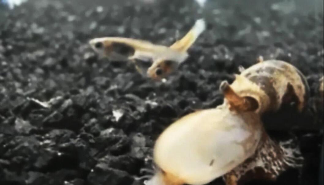 En snegle av arten Conus tulipa satser på å fange fisk ved å gi dem et aldri så lite insulinsjokk.  (Foto: Jason Biggs and Baldomero Olivera)