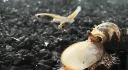 Mareritt-snegl gir byttene lavt blodsukker