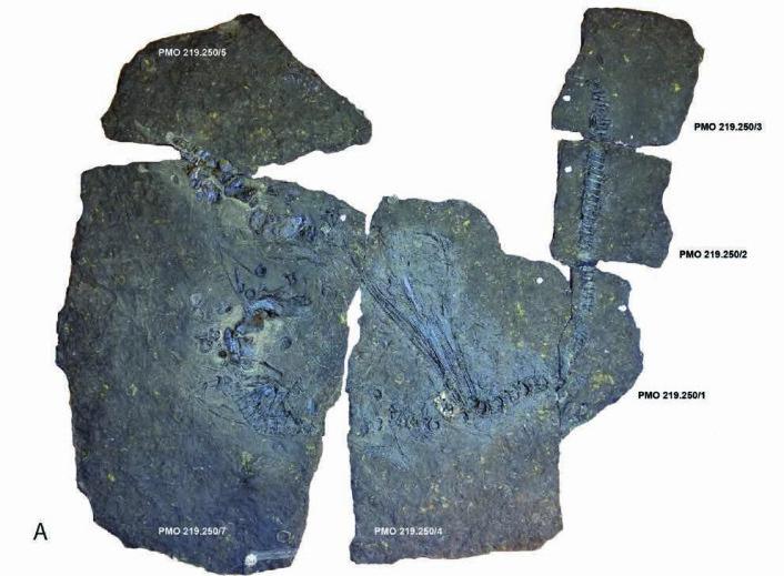 Oda etter preparering. Fossilet er samanbøygd, med hovudet midt i biletet. (Foto: Jørn Hurum, NHM)