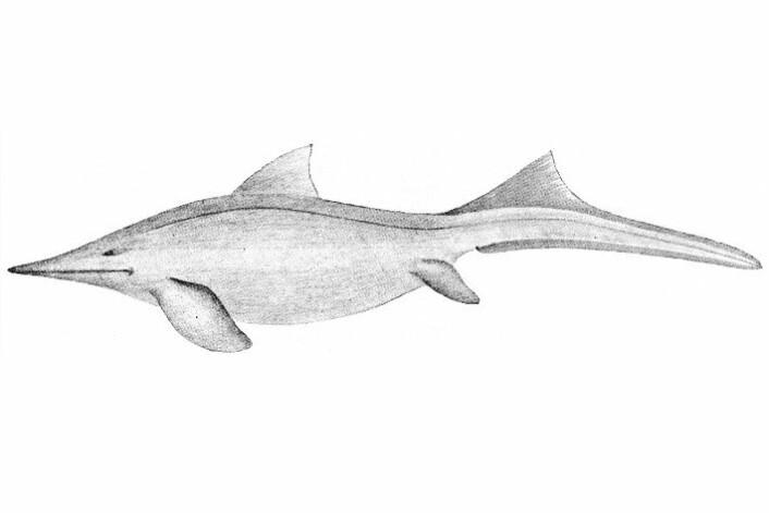 Teikning av fiskeøgle frå 1910. Den gongen <em>Mixosaurus</em>, i dag <em>Phalarodon</em>. (Foto: (Illustrasjon: Carl Wiman))