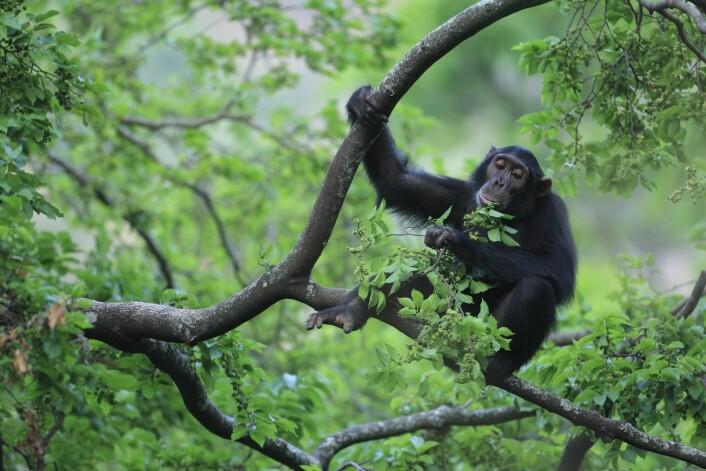 En sjimpanse – vår aller nærmeste slektning blant dyrene – spiser blader i Gombe-nasjonalparken i Tanzania. Sjimpansene har fortsatt livet oppe i trærne. Legg merke til foten hans og øynenes plassering på hodet.  Foto: Cyril Ruoso, Minden/NTB