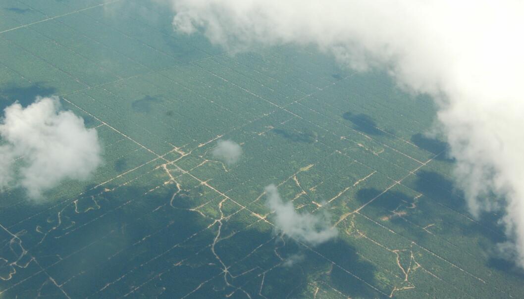 Oljepalmer, fra horisont til horisont. (Foto: Erik Tunstad)