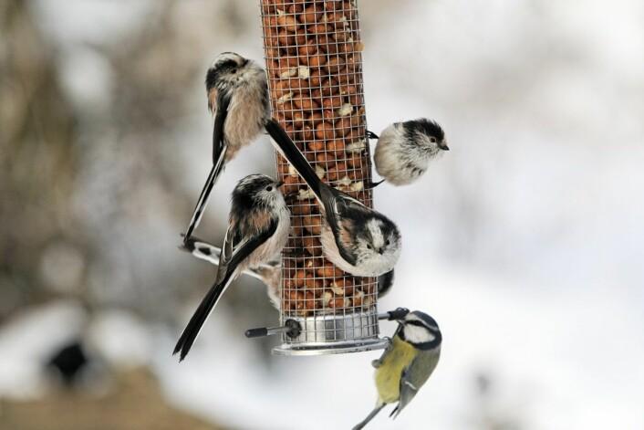 De minste fuglene må utnytte hvert minutt av den lyse dagen til å finne mat. Her stjertmeis og én blåmeis. (Foto: Thinkstock)