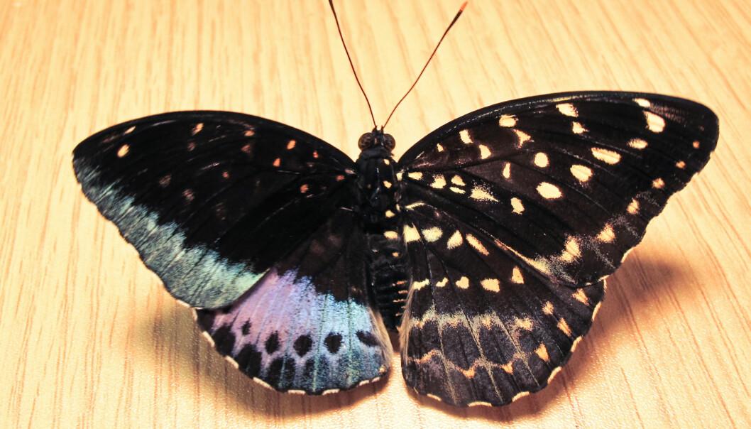 Dette levende eksemplaret av Lexias pardais dukket opp ved en utstilling av levende sommerfugler ved Academy of Natural Sciences ved Drexel University. Hann til venstre, hunn til høyre.  (Foto: Isa Betancourt/ANSP)