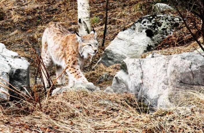Reinsdyr og rådyr er de viktigste byttedyrene til gaupe i Norge. Gauper som spiser rein med mye radioaktivitet i kroppen får dermed dette i seg. Bildet er tatt i Langedrag naturpark.  (Foto: Runhild Gjelsvik)