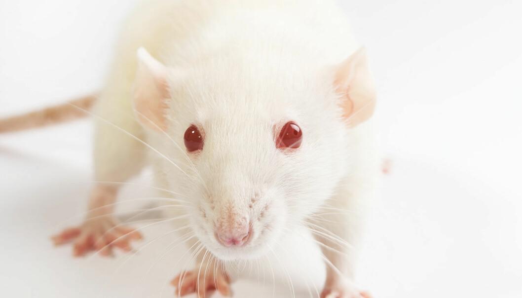 Amerikanske forskere har utviklet en slankepille som virker på mus. Nå skal de sette igang forsøk på mennesker.  (Foto: Microstock)