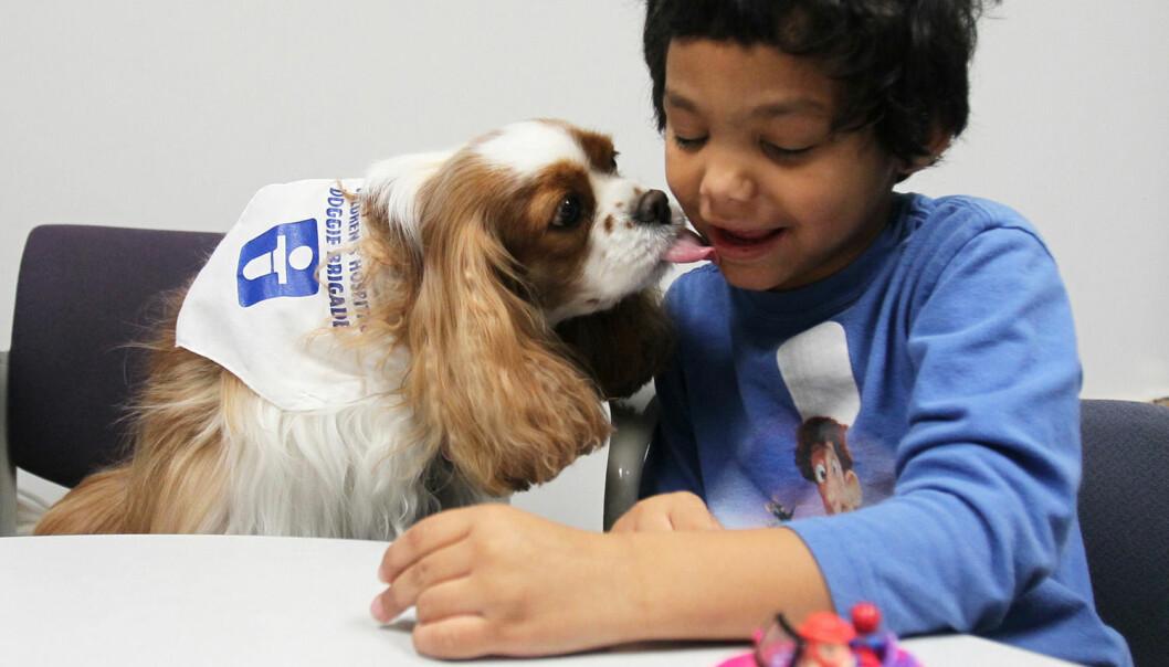 Noen ganger kan det være lettere å kommunisere med dyr enn med mennesker. Denne femåringen med autisme får et kyss av en Cavalier King Charles Spaniel som jobber på et sykehus i USA. (Foto: Mike Cardew/Zuma Press)