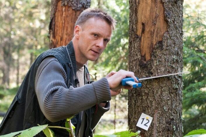 Knut Ole Viken klaver et tre, det vil si å måle diameteren på stammen i brysthøyde. Et tre er definert som større enn 5 centimeter i brysthøyde. (Foto: Lars Sandved Dalen, Skog og landskap)