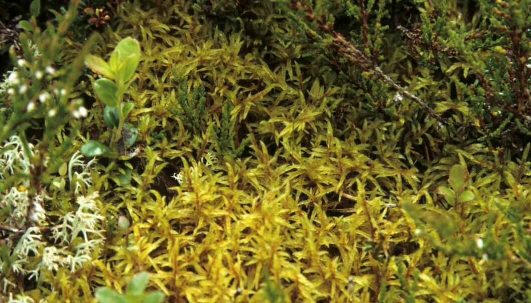 Moser er en av verdens mest suksessfulle organismer. De finnes nær sagt over alt i boreal barskog og kan danne myke tepper i skogbunnen. Furumose (<em>Pleurozium schreberi</em>) er en av våre vanligste mosearter. (Foto: John Yngvar Larsson, Skog og landskap)