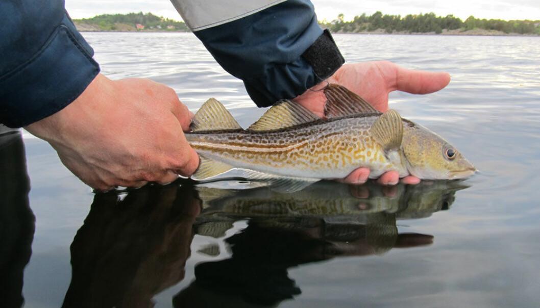 Torsk overlever fang-og-slipp. Fisken får mindre stress og plager dersom den blir behandlet skikkelig. (Foto: Martin Wiech)