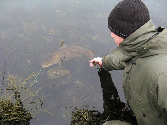 Ta med våte hender i fisken og vær kjapp, er forskerens råd til fang-og-slipp-fiskere. (Foto: Havforskningsinstituttet)