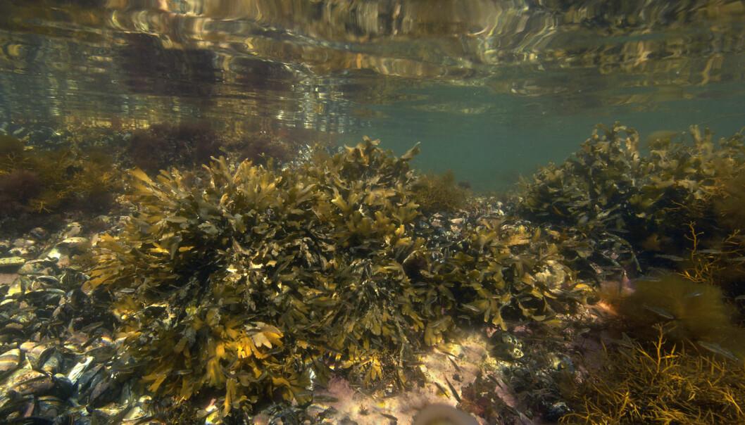 I motsetning til oljen og gassen – som er ferdige produkt uten en best-før-dato lagret i jordens mørke undergrunn – beror omfanget og kvaliteten av de marine ressursene,enten det dreier seg om torsk, oppdrettslaks, blåskjell eller kiselalger, på naturgitte forutsetninger som nå er under endring. (Foto: Scanpix)