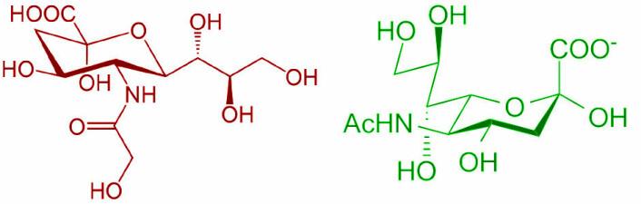 Til venstre (rødt): Neu5Gc, eller N-Glykolneuraminsyre, sukkeret som menneskekroppen ikke selv lager, men som finnes i rødt kjøtt, og som kan gi betennelsesreaksjoner. Til høyre: Et lignende sukker som også finnes i menneskekroppen, Neu5Ac, eller N-acetylneuraminsyre. Dette sukkeret ligner så mye på Neu5Gc at menneskekroppen tar opp Neu5Gc. Først når immunsystemet oppdager feilen, oppstår betennelsesreaksjonen, som blant annet kan gi kreft. (Foto: Wikimedia Commons, bearbeidet av Arnfinn Christensen, forskning.no)